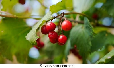 Closeup of bunches of red berries of a Guelder rose or Viburnum opulus shrub on a sunny day at the end of the summer season.