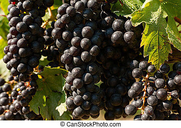 Closeup of bunches of red grapes in the vineyard
