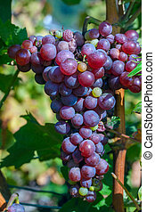 Closeup of bunches of red wine grapes on vine