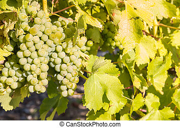 bunches of ripe Sauvignon Blanc grapes growing on vine in...
