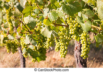 bunches of ripe Sauvignon Blanc grapes in vineyard - closeup...