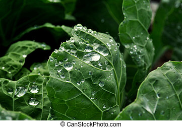 cabbage with dew