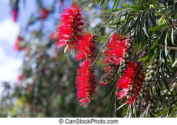 Callistemon viminalis ( Melaleuca viminalis) plant - Closeup...