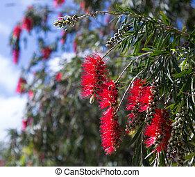 Callistemon viminalisplant in spring - Closeup of ...