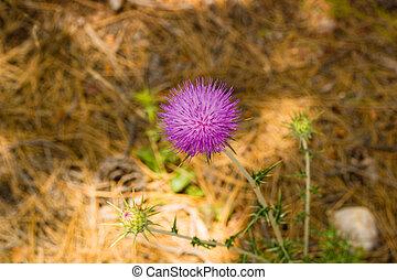 Closeup of Carduus plant flower