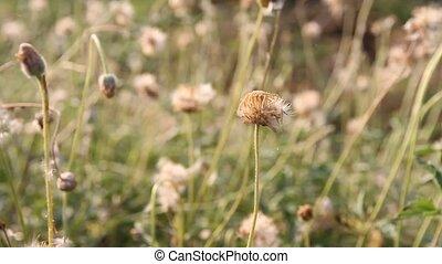 closeup of chamomile flowers