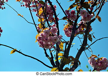 closeup of cherry blossoms with blue sky