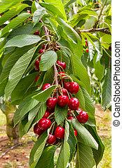 cherry tree branch with ripe juicy cherries