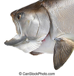 Closeup of Chinook Salmon Head - Closeup of a large...