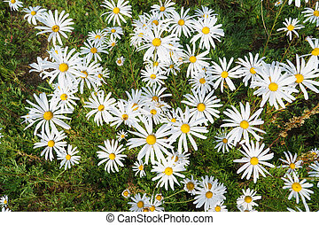 Chrysanthemum zawadskii flowers