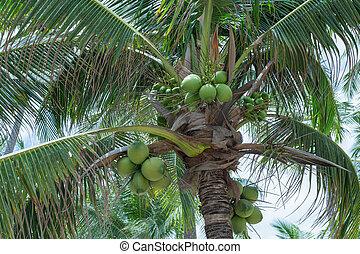 closeup of coconut tree