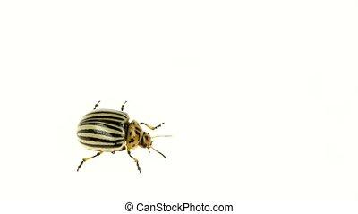 Closeup of colorado bug walking on white background. Slow motion