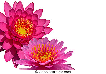 waterlily - Closeup of colorful pink waterlily, isolated on...