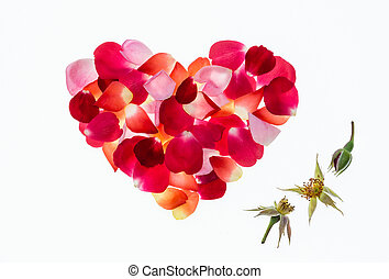 colourful rose petals heart shape on white background