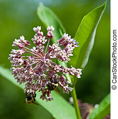 Milkweed - Closeup of Common Milkweed flowers (Asclepias...