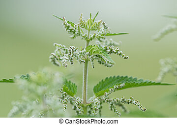 Closeup of common nettles on a cloudy day in summer