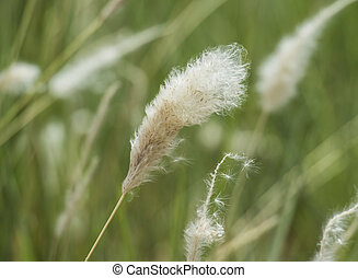 Closeup of cotton grass seed head