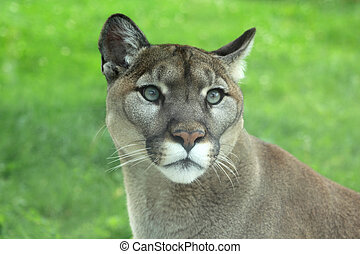Closeup of Cougar in the grass - Closeup of cougar or ...