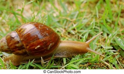Closeup of crawling and eating Snail in the grass. Macro video shift motion