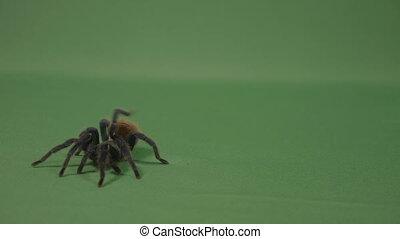 Closeup of creepy brown tarantula spider crawling across...