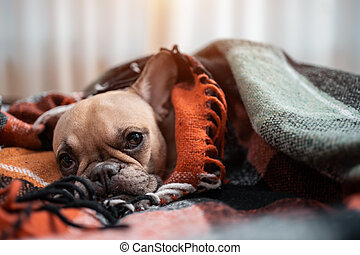 closeup of cute french bulldog dog resting wrapped in plaid on sofa at home