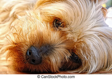 Closeup of Cute Silky Terrier Face - Closeup of the cute and...
