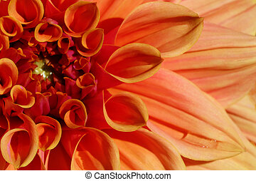 Closeup of dahlia flower in full bloom in the garden.