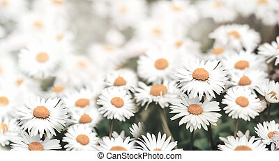 Closeup of daisy flowers in grass with sunlight. Macro chamomile field background.