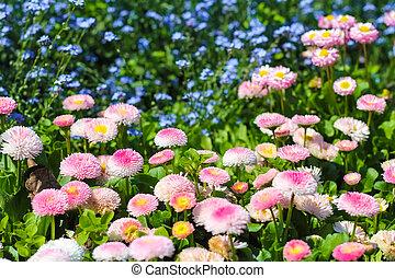 Closeup of daisy in garden . Bellis perennis . rob roy ....