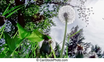 Closeup of dandelion in the wind - Closeup of dandelion...
