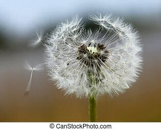 Dandelion seeds outdoor