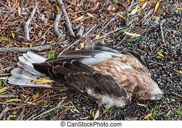 dead falcon lying on roadside - closeup of dead falcon lying...