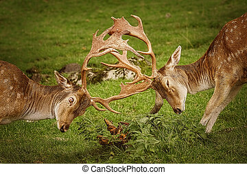 Closeup of Deer Fight - Deer Fight on the Pasture in Germany