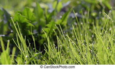 Closeup of dew drops on green grass