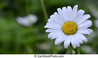 dewy daisy flower bloom