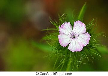 Dianthus Barbatus Sweet William - Closeup of Dianthus ...
