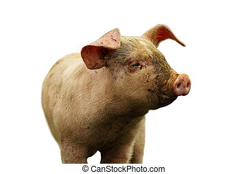 closeup of domestic pig over white