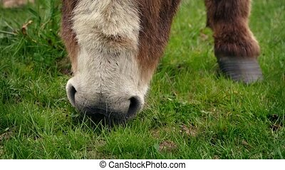 Closeup Of Donkey Eating Grass