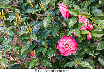 double-flowered camellia japonica cultivar in bloom with ...