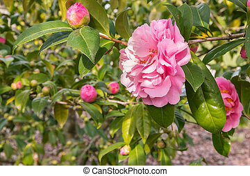 double-flowered pink camellia flower in bloom with blurred ...