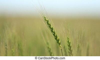 Closeup of ear wheat on wind