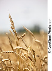 Closeup of ears of barley in a field ready for harvest