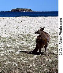 Closeup of Eastern Grey Kangaroo (Macropus giganteus) on ...