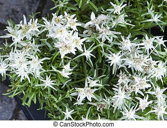 closeup of edelweiss-leontopodium alpinum flowers