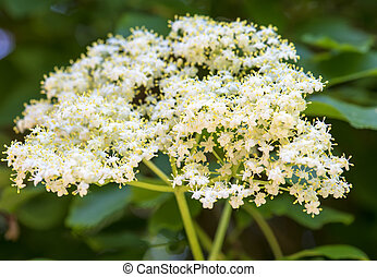 Closeup of Elder flower (Sambucus nigra) with short depth of field