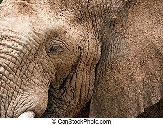 Closeup of elephant head with tusks eye