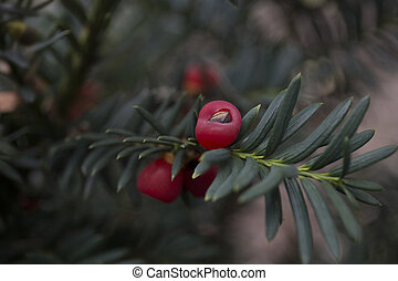 Closeup of english yew taxus baccata fruits