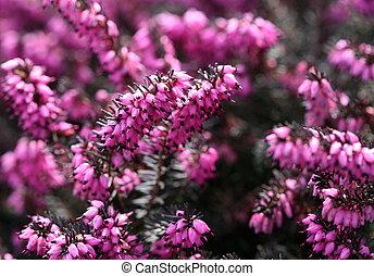 Winter flowering heather, garden cultivar Erica carnea, ericaceae