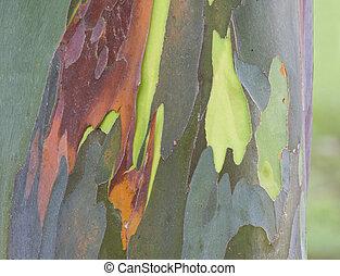 Closeup of Eucalyptus Rainbow tree exfoliating and tree exposed
