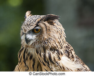 Closeup of european eagle owl - Closeup detail of european ...